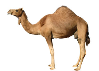 camell_serv